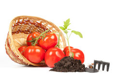 Fresh Tomatoes. Concept Of Harvest. Royalty Free Stock Image