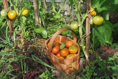 Fresh tomatoes and cucumbers Stock Photography