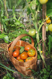 Fresh tomatoes and cucumbers Stock Photos