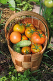 Fresh tomatoes and cucumbers Royalty Free Stock Images