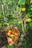 Fresh tomatoes and cucumbers Royalty Free Stock Photos