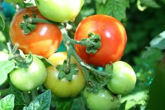 Fresh tomatoes with dew drops grow in a garden stock image
