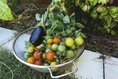Fresh tomatoes, eggplant, aubergine, basil in a colander ready to be cooked eaten Stock Photos