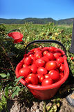 Fresh tomatoes in field Royalty Free Stock Photo