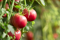 Fresh tomatoes in garden Stock Image