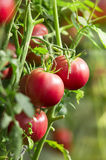 Fresh tomatoes in garden Royalty Free Stock Image