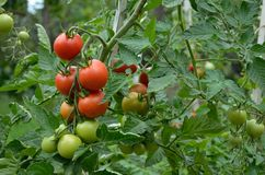 Fresh tomatoes in the garden. Fresh red and green tomatoes growing on bushes in the garden Royalty Free Stock Image