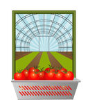 Fresh tomatoes from the greenhouse Royalty Free Stock Photo