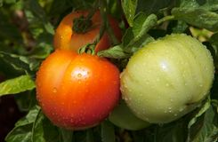 Fresh tomatoes growing after rain. Close-up of red and green tomatoes ripening on plant after rain with tiny rain droplets on their surface Stock Photography