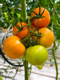 Fresh tomatoes growing on a vine Royalty Free Stock Photography