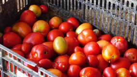Fresh tomatoes harvested from garden, Don Duong district, Da Lat city, Lam Dong province, Vietnam stock video footage