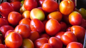 Fresh tomatoes harvested from garden, Don Duong district, Da Lat city, Lam Dong province, Vietnam stock footage