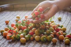 Fresh Tomatoes in mand hand. Fresh red, yellow, green tomatoes in human male hand and some red, yellow, green tomatos with green leaves on aged bamboo threshing stock images