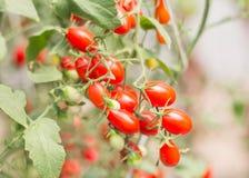 Fresh tomatoes. Fresh tomatoes plants Royalty Free Stock Photo