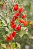Fresh tomatoes. Fresh tomatoes plants Stock Photo