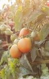 Fresh tomatoes. Fresh tomatoes plants Stock Images