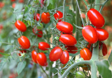 Fresh tomatoes plants Royalty Free Stock Photos