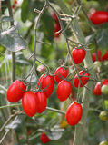 Fresh tomatoes plants Stock Photography