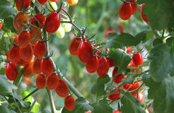Fresh tomatoes plants. Fresh tomatoes are ready to be harvested Royalty Free Stock Photos