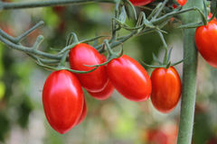 Fresh tomatoes plants. Fresh tomatoes are ready to be harvested Royalty Free Stock Photography