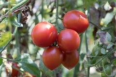 Fresh tomatoes plants tomato. Fresh tomatoes plants tomato in garden Royalty Free Stock Photo