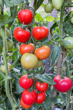 Fresh tomatoes. Ready for picking Royalty Free Stock Images