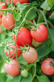 Fresh Tomatoes on a stem. Royalty Free Stock Photo