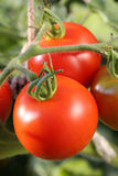 Fresh tomatoes on tomato bush in a garden Stock Images