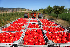 Fresh tomatoes on tractor Stock Images