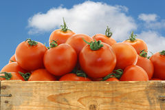 Fresh tomatoes on the vine Stock Photos