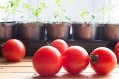 Fresh tomatos on background of seedlings tomato plant that have seed leaves, one large set of true leaves royalty free stock images