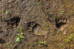 Fresh tracks of a wild bear on the banks of the river Stock Photos