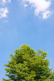 Fresh tree with blue sky. Fresh green tree on a sunny day, with blue sky and white clouds on background Stock Photo