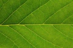 Fresh tree leaf texture Stock Image