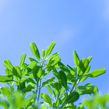 Fresh tree leaves on blue sky background Royalty Free Stock Images