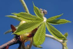 Fresh  tree leaves opening in early spring Royalty Free Stock Photography