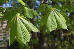 Fresh tree leaves in spring Royalty Free Stock Photo