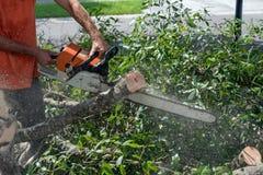 Fresh tree trimming Stock Image