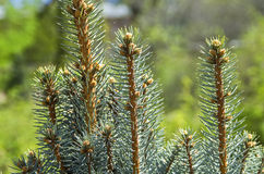 Fresh treetops of small spruces. Stock Photography