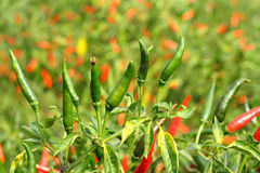 Fresh tropical chili Royalty Free Stock Photography