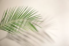 Fresh tropical date palm leaf. On light background royalty free stock photography