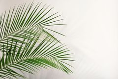 Fresh tropical date palm leaf. On light background stock image