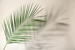 Fresh tropical date palm leaf. On light background stock photography