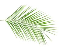 Fresh tropical date palm leaf. On white background stock image