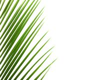 Fresh tropical date palm leaf on white background. Top view royalty free stock photo