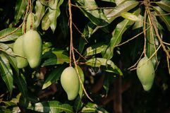 Fresh tropical green mango hanging from mango tree under summer. Many Fresh tropical green mango hanging from mango tree under summer sunlight Stock Image