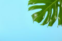 Fresh tropical monstera leaf on color background. Top view stock photography