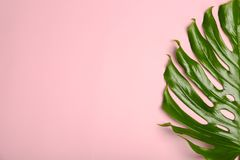 Fresh tropical monstera leaf on color background,. Top view stock image