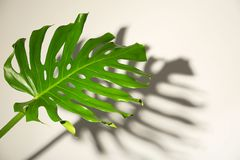Fresh tropical monstera leaf. On light background royalty free stock photography