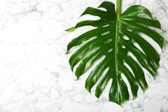 Fresh tropical monstera leaf. On marble background, top view royalty free stock image